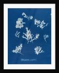 Ptilota plumosa & capillaris by Anna Atkins