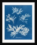 Ptilota plumosa by Anna Atkins
