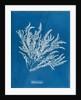 Ptilota sericea by Anna Atkins