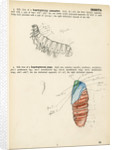 Caterpillar and pupa by Henry Hallett Dale