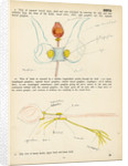 Sepia officinalis by Henry Hallett Dale