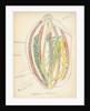 Holathuria tubulosa by Henry Hallett Dale
