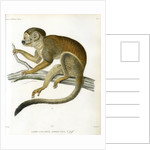Bare-eared squirrel monkey by Borromée