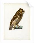Rainforest scops owl by Guyard