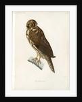 Stygian owl by Guyard