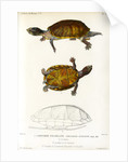 Red cheeked mud turtle by Léon Louis Vaillant