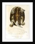 Magdalena river turtle by Léon Louis Vaillant