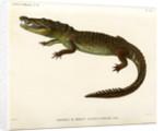 Morelet's crocodile by Louveau
