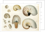 Nautilus specimens by unknown
