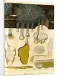 Agaricus crispus by Pérée
