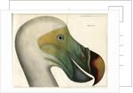 Dodo by Bièvre