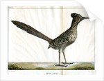 Greater roadrunner by Bièvre