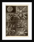 Sea urchins by American Photo Relief Printing Company