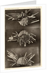 Red slate pencil urchin by American Photo Relief Printing Company