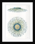 Blue button jellyfish by A Meissel