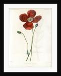 Poppy hybrid by Debray