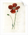 Poppy hybrid by Debray