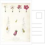 Four-o'clock and foxglove hybrids by Debray