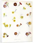 Primula hybrids by Debray