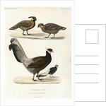Blue eared pheasant and Koklass pheasant by unknown