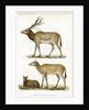 Père David's deer by J Huet