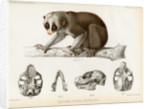 Bengal slow lorus by Marie Firmin Bocourt
