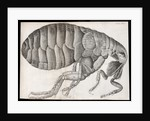 Microscopic view of a flea by Robert Hooke