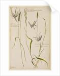 Meadow tall rye grass, spiked hedge oat grass and vernal grass by Richard Waller
