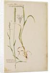 Cat's tail grass by Richard Waller