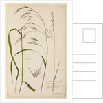 Bush or wood oat grass and meadow grass by Richard Waller