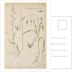 Small supine oat grass and great wild oat grass by Richard Waller