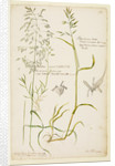 Greater meadow grass, common meadow grass and rough oat grass by Richard Waller