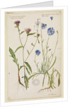 Knap-weed or matfelon and cornflower or bluebottle by Richard Waller
