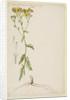 Ragwort with narrow leaf by Richard Waller