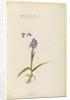 Little purple flowered orchid by Richard Waller
