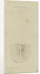 Brontes, genus of trilobite by Henry James