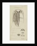Phacops, genus of trilobite by Henry James