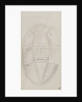 Isotelus, genus of trilobite by Henry James