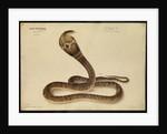 Indian cobra by Annada Prasad Bagchi