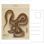 Russell's viper by Annada Prasad Bagchi