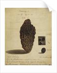 Termite colony nurseries by Henry Smeathman