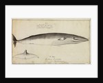 'Balaena Rostrata, Fabricus [Minke whale?]' by William Bell