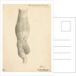 'N.S.W. Cassowary' [gizzard] by John Howship