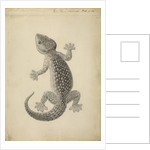 Lacerta gecko by William Clift
