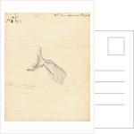 'Squalus acanthias' [Spiny dogfish, scapula and pectoral fin] by William Clift