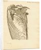 Fossil ribs, sternum and vertebrae of the Proteo-saurus [Ichthyosaur] by Henry Thomas de la Beche
