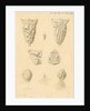Ovaries of Ornithorhynchus paradoxicus [Platypus] by Franz Andreas Bauer