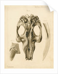 Dugong skull and tusks by William Home Clift