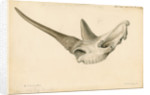 Rhinoceros skull by William Clift