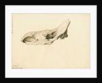Fossil rhinoceros skull by William Clift